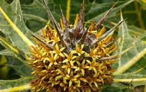 Колючка Gundelia tournefortii, з якої був зроблений терновий вінець