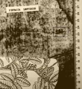 Відбиток фісташок на полотні Плащаниці